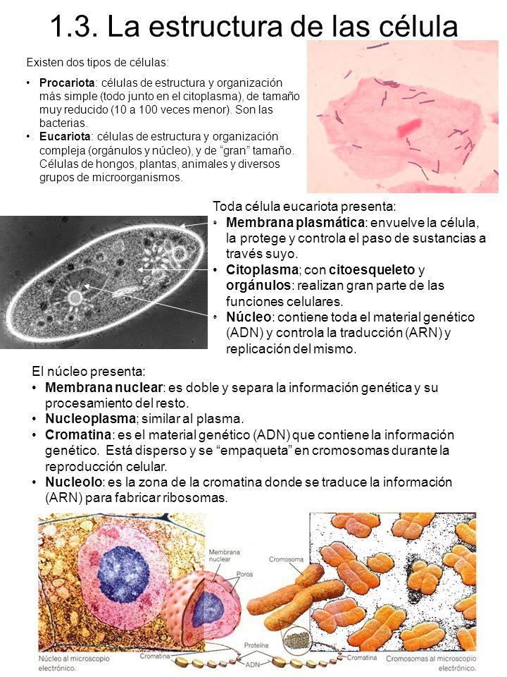 1.3. La estructura de las célula