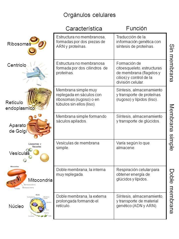 Orgánulos celulares Característica Función Sin membrana