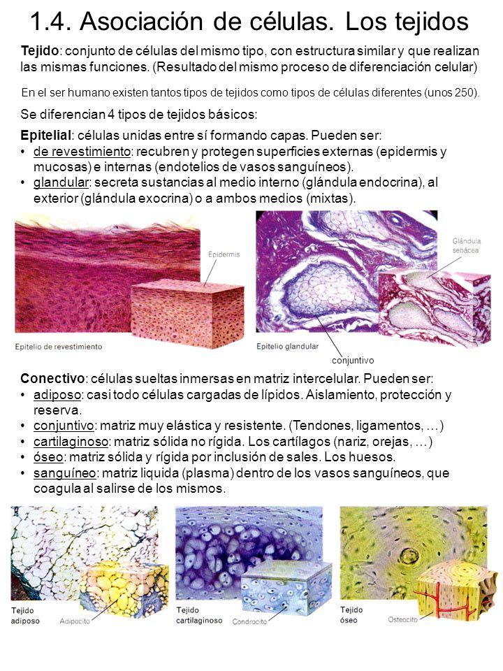 1.4. Asociación de células. Los tejidos