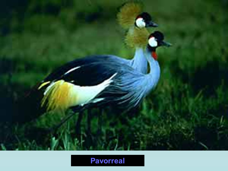 Pavorreal
