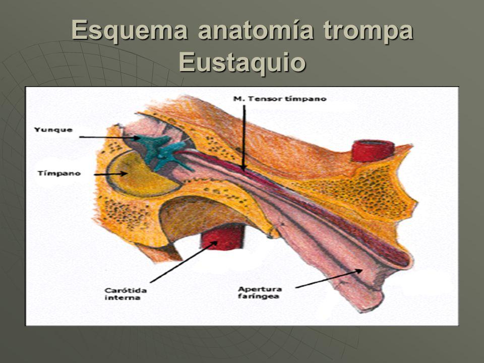 Asombroso Anatomía Trompa De Eustaquio Modelo - Imágenes de Anatomía ...