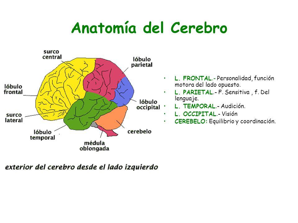Moderno Anatomía Del Cerebro Ppt Modelo - Anatomía de Las ...
