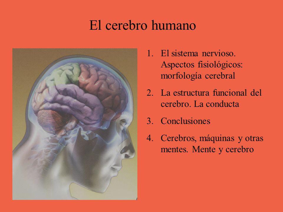 El Cerebro Humano El Sistema Nervioso Aspectos Fisiológicos Morfología Cerebral La Estructura Funcional Del Cerebro La Conducta Conclusiones Cerebros