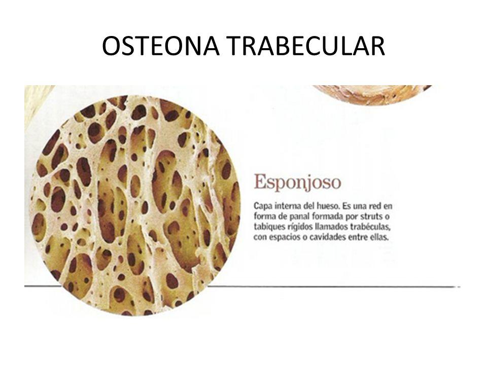 OSTEONA TRABECULAR