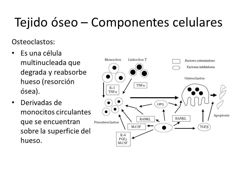 Tejido óseo – Componentes celulares