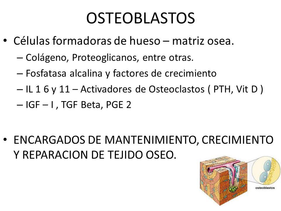 OSTEOBLASTOS Células formadoras de hueso – matriz osea.