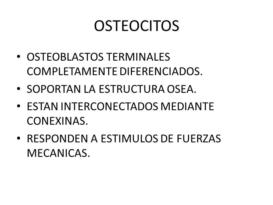 OSTEOCITOS OSTEOBLASTOS TERMINALES COMPLETAMENTE DIFERENCIADOS.
