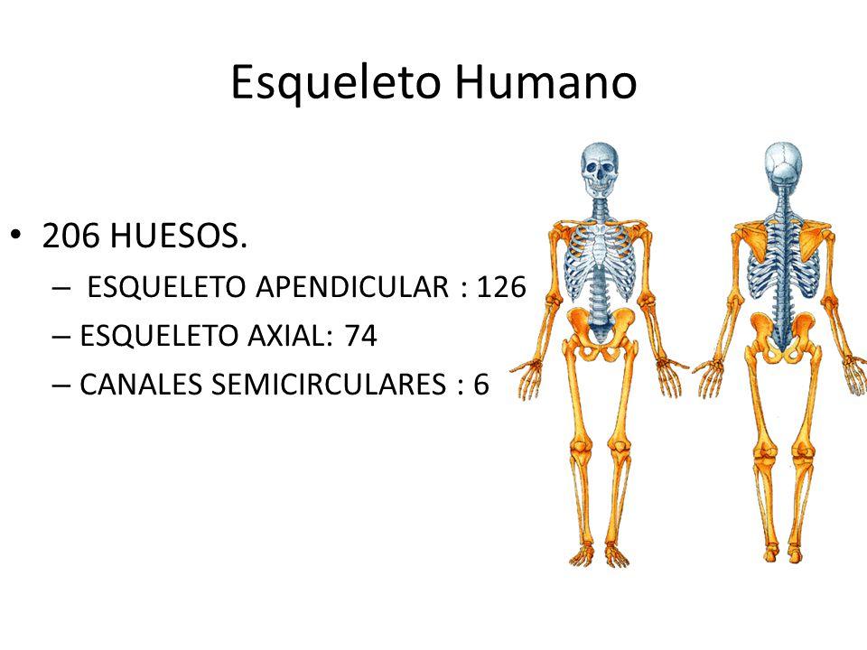 Esqueleto Humano 206 HUESOS. ESQUELETO APENDICULAR : 126