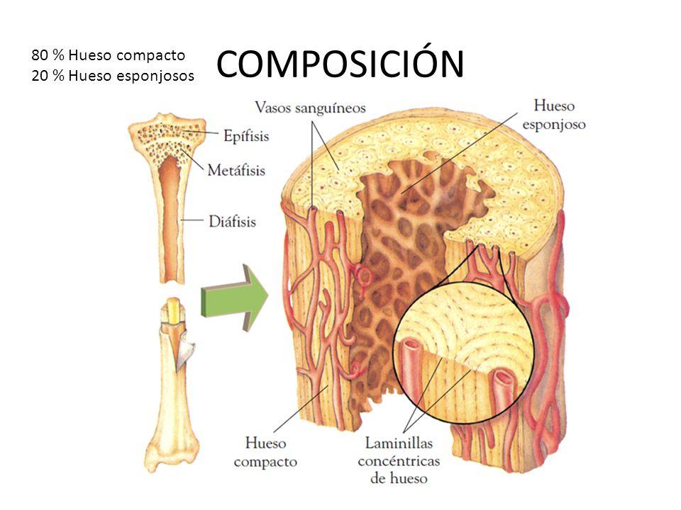 COMPOSICIÓN 80 % Hueso compacto 20 % Hueso esponjosos