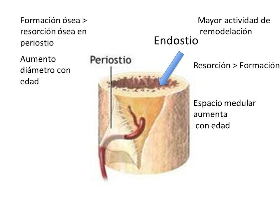 Endostio Formación ósea > resorción ósea en periostio