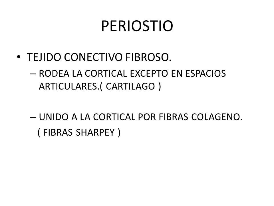 PERIOSTIO TEJIDO CONECTIVO FIBROSO.