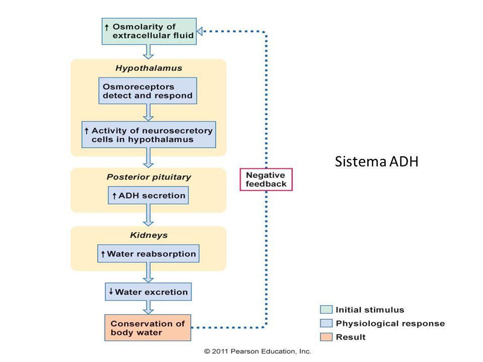Sistema ADH