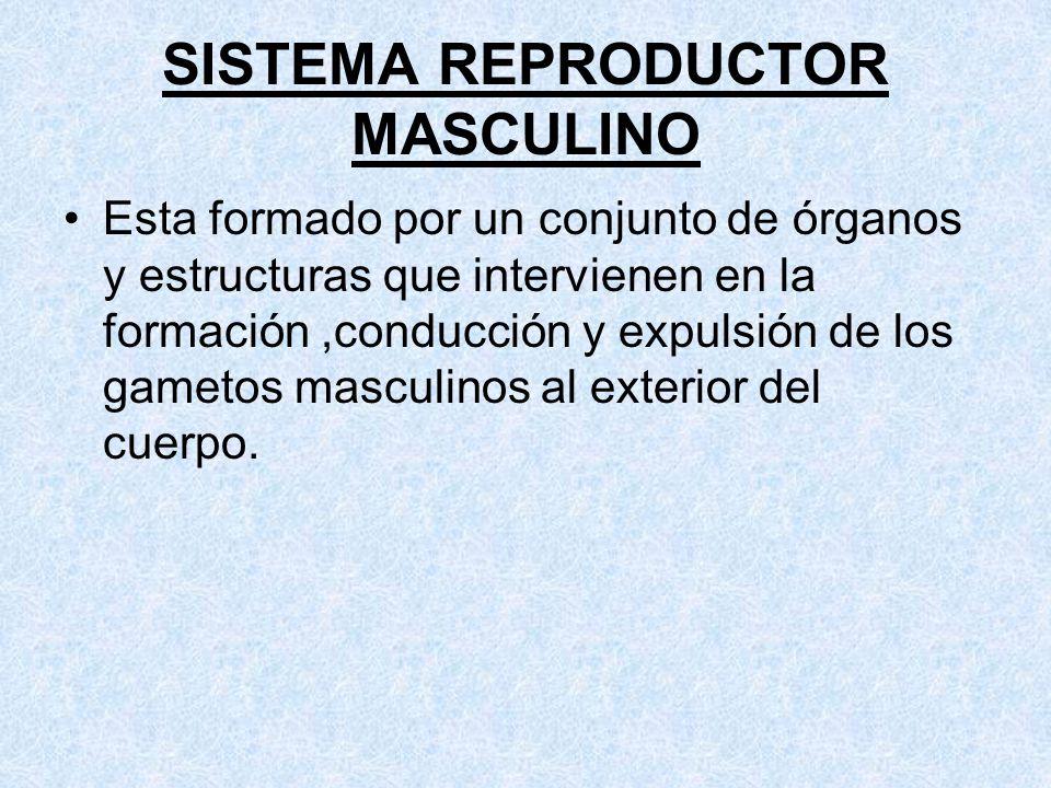 REPRODUCCION HUMANA Sistema Reproductor Masculino - ppt video online ...