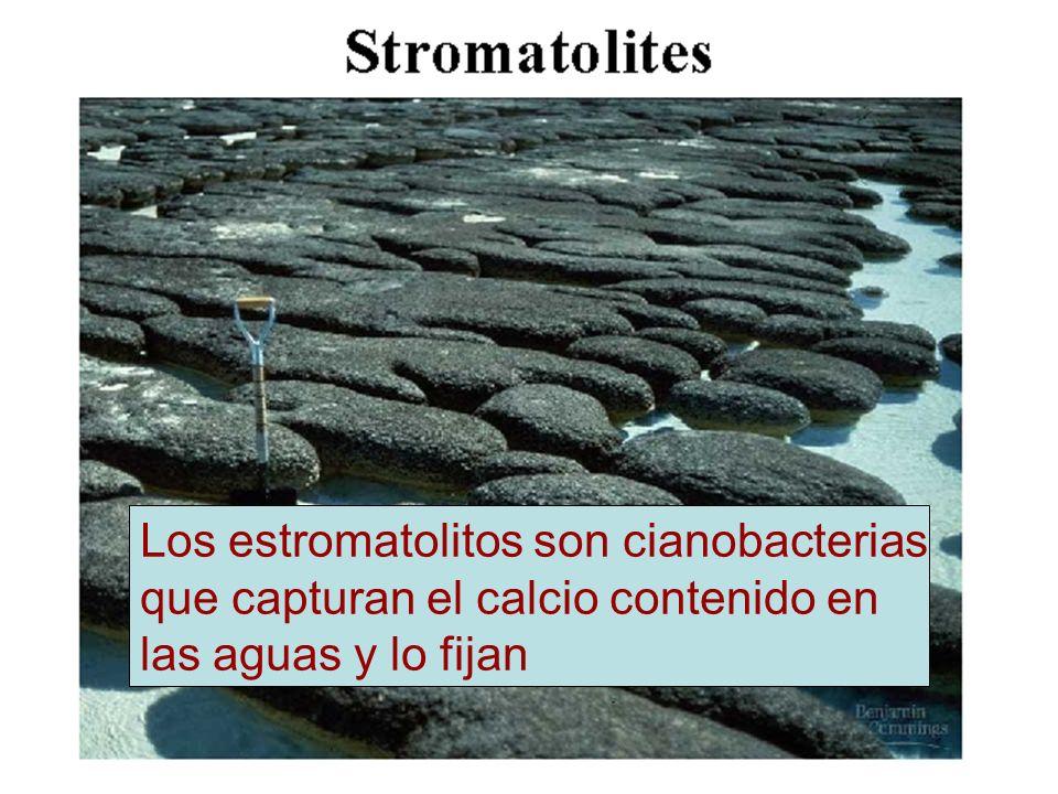 Los estromatolitos son cianobacterias