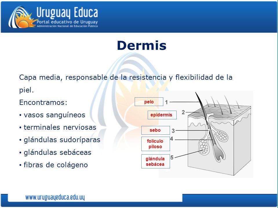 Dermis Capa media, responsable de la resistencia y flexibilidad de la piel. Encontramos: vasos sanguíneos.