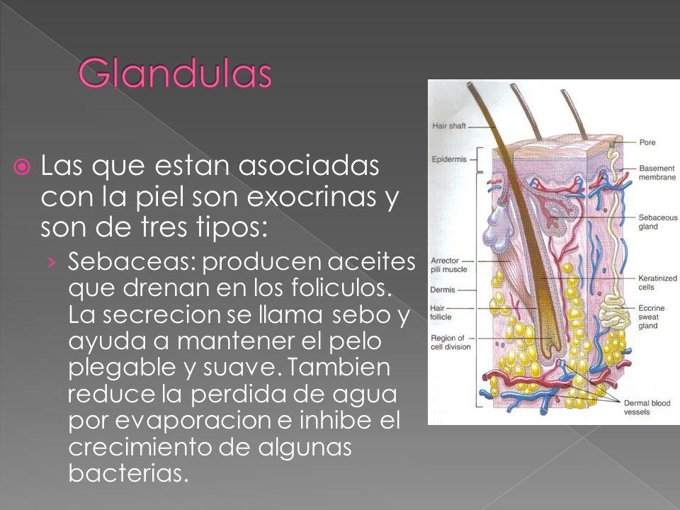 Glandulas Las que estan asociadas con la piel son exocrinas y son de tres tipos: