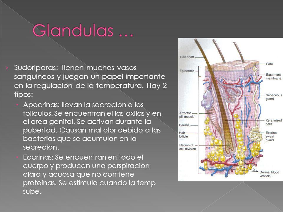 Glandulas … Sudoriparas: Tienen muchos vasos sanguineos y juegan un papel importante en la regulacion de la temperatura. Hay 2 tipos: