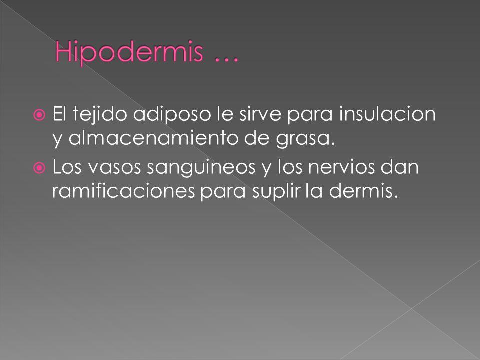 Hipodermis … El tejido adiposo le sirve para insulacion y almacenamiento de grasa.