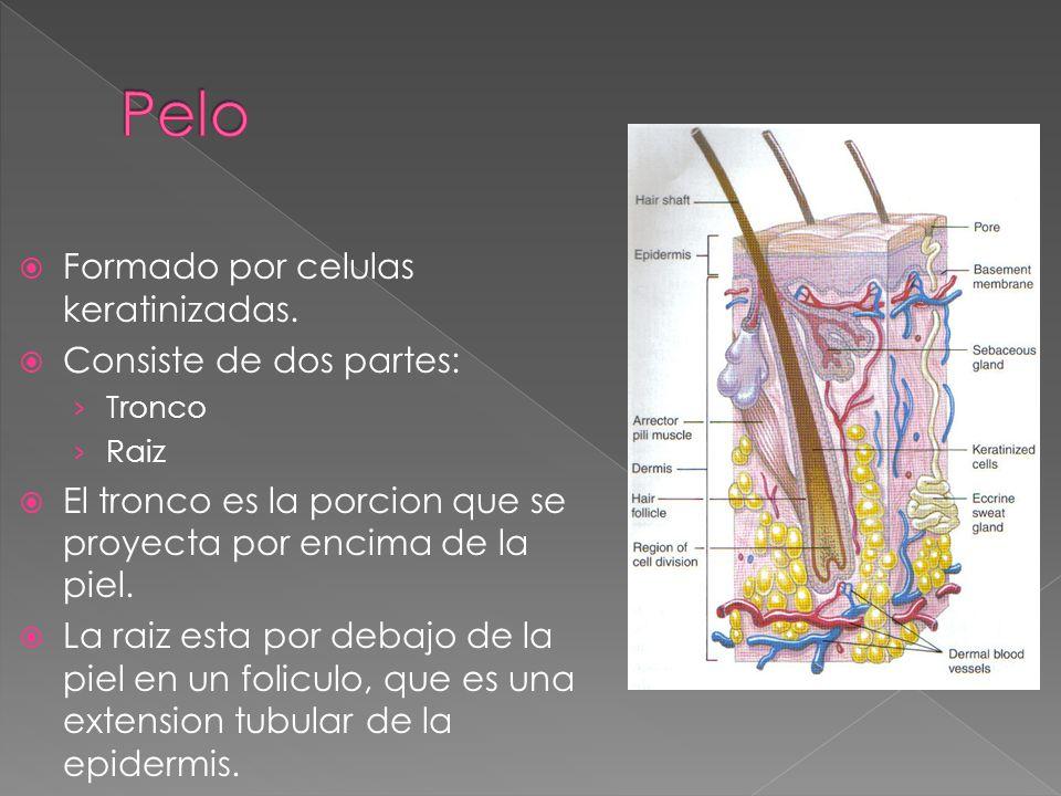 Pelo Formado por celulas keratinizadas. Consiste de dos partes: