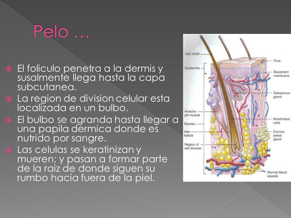 Pelo … El foliculo penetra a la dermis y susalmente llega hasta la capa subcutanea. La region de division celular esta localizada en un bulbo.