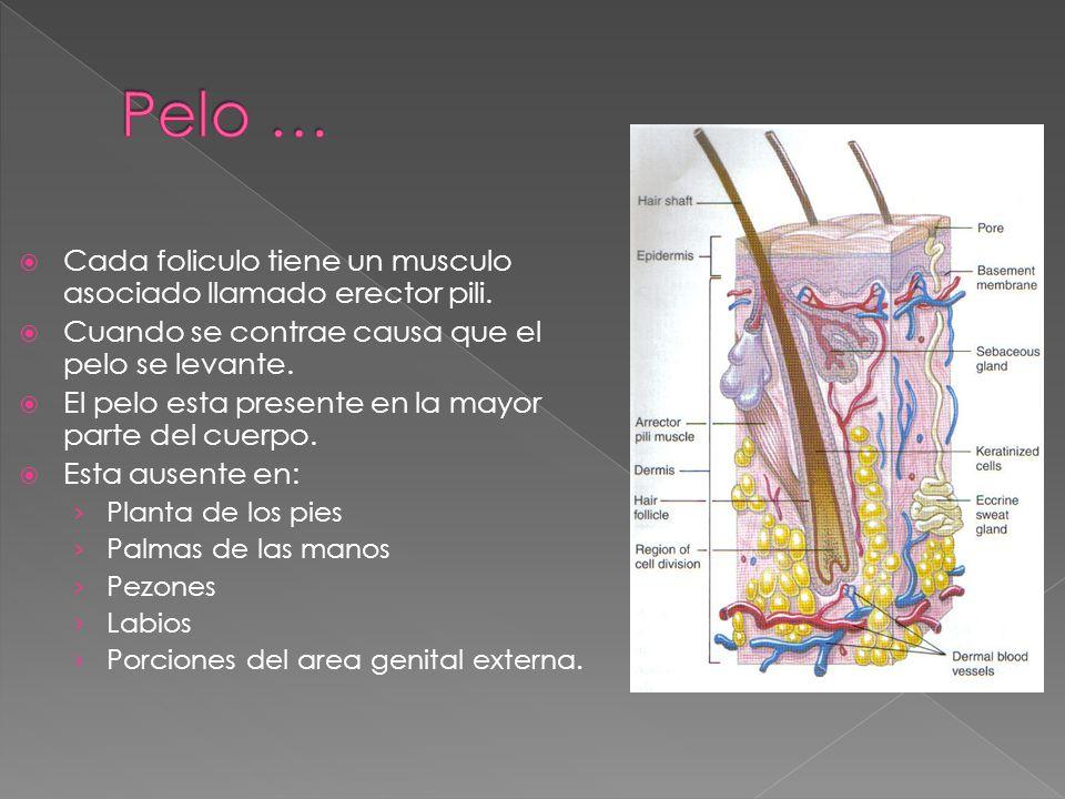 Pelo … Cada foliculo tiene un musculo asociado llamado erector pili.