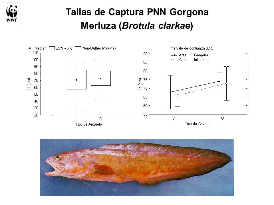 Tallas de Captura PNN Gorgona Merluza (Brotula clarkae)