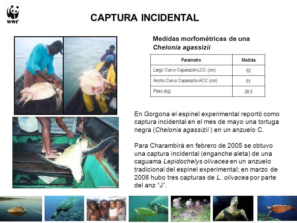 CAPTURA INCIDENTAL Medidas morfométricas de una Chelonia agassizii