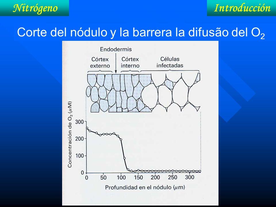 Nitrógeno Introducción Corte del nódulo y la barrera la difusão del O2