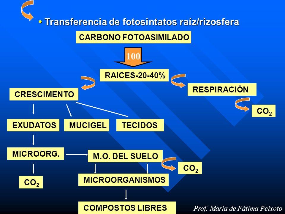 • Transferencia de fotosintatos raíz/rizosfera