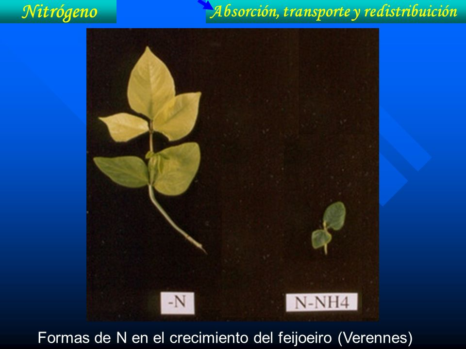 Nitrógeno Absorción, transporte y redistribuición