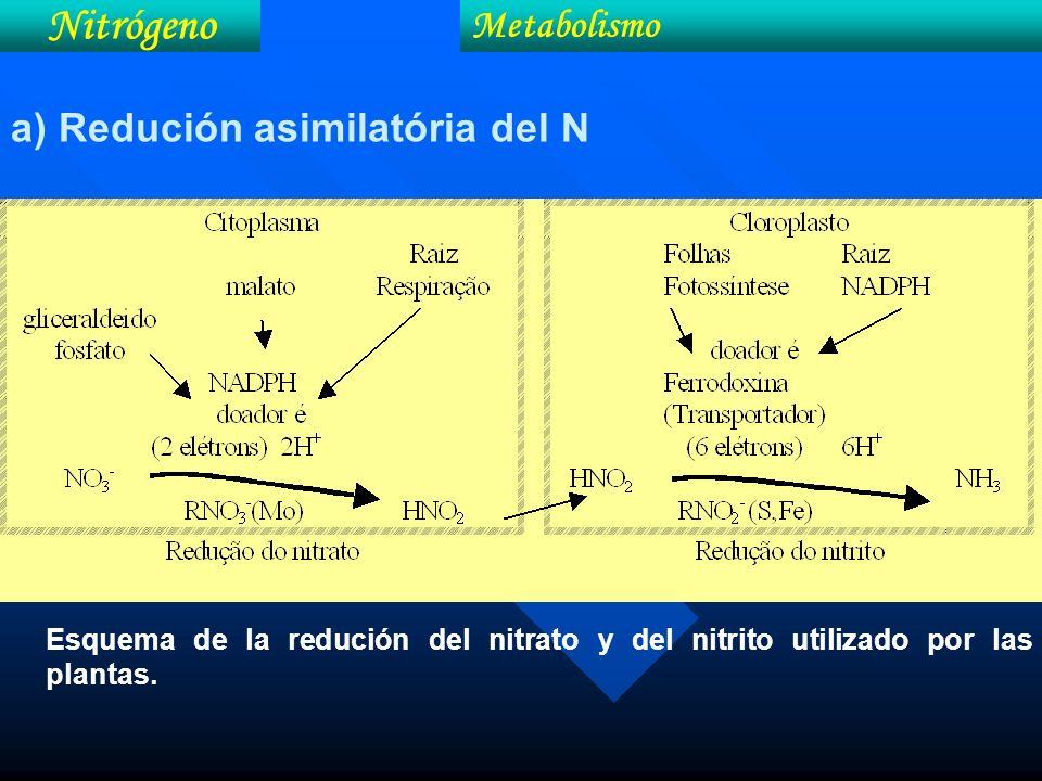 Nitrógeno Metabolismo a) Redución asimilatória del N