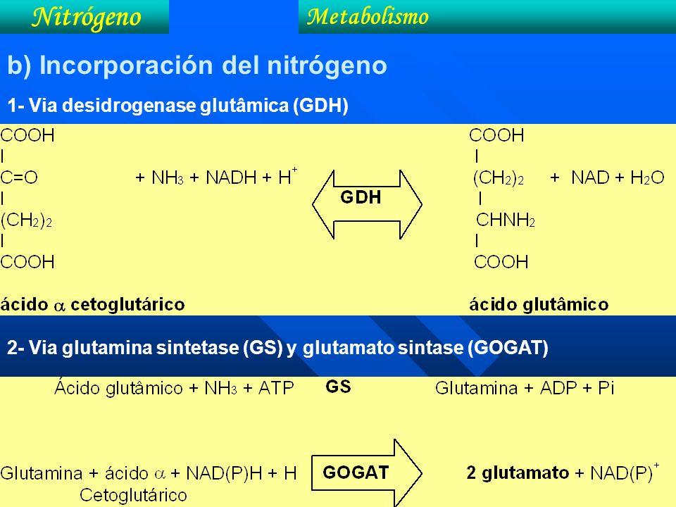 Nitrógeno Metabolismo b) Incorporación del nitrógeno