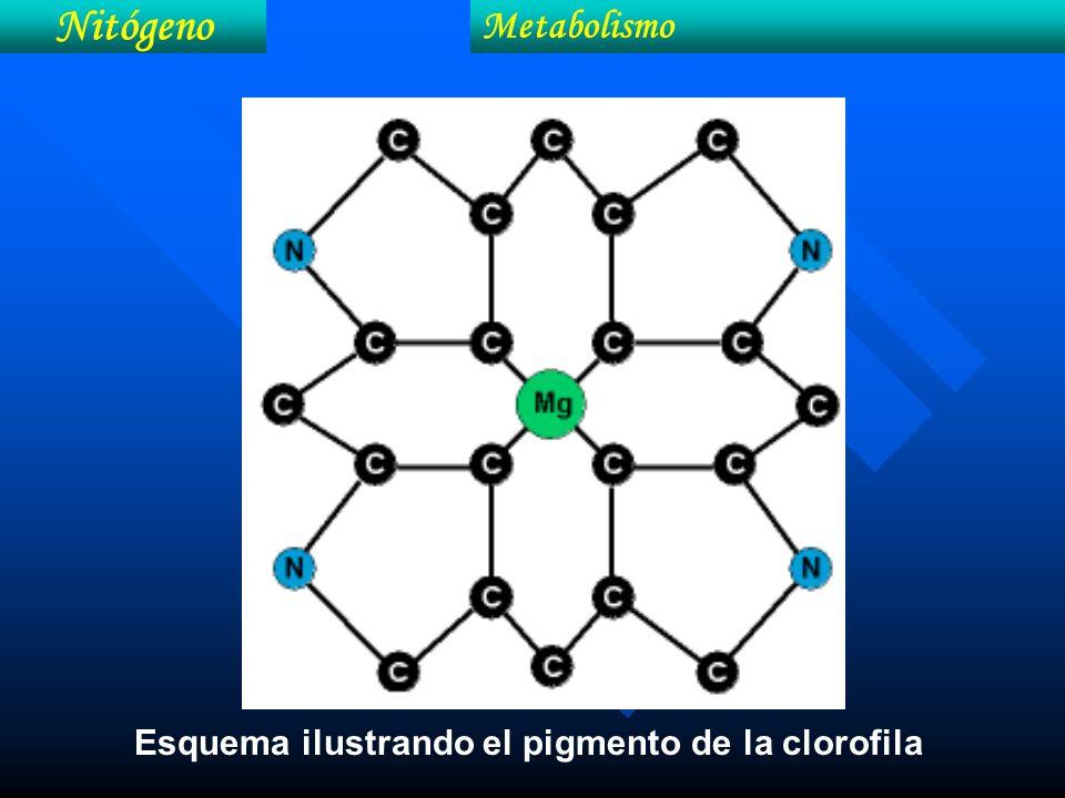 Nitógeno Metabolismo Esquema ilustrando el pigmento de la clorofila
