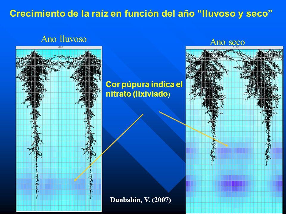 Crecimiento de la raíz en función del año lluvoso y seco
