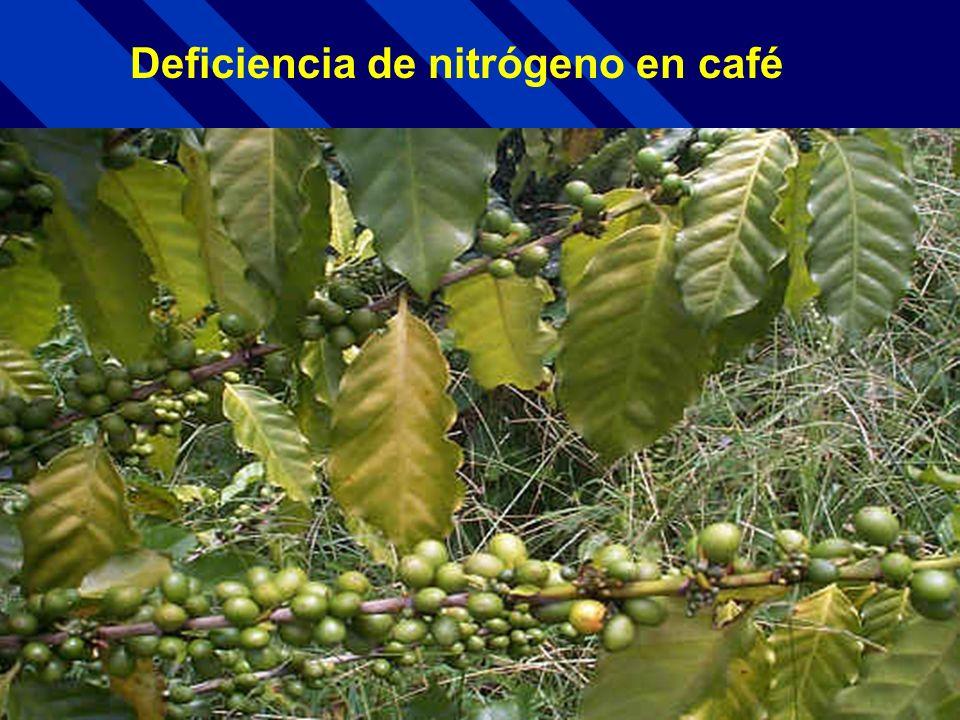 Deficiencia de nitrógeno en café