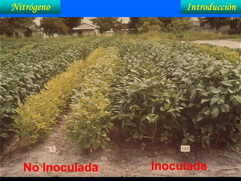 Nitrógeno Introducción No Inoculada Inoculada