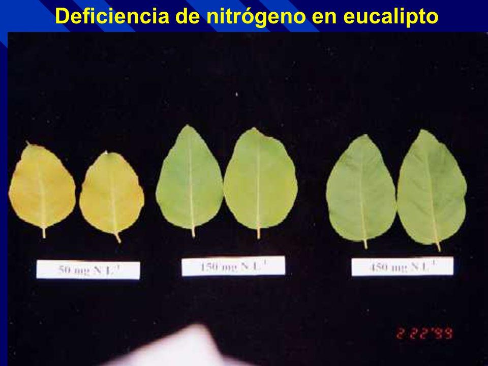 Deficiencia de nitrógeno en eucalipto