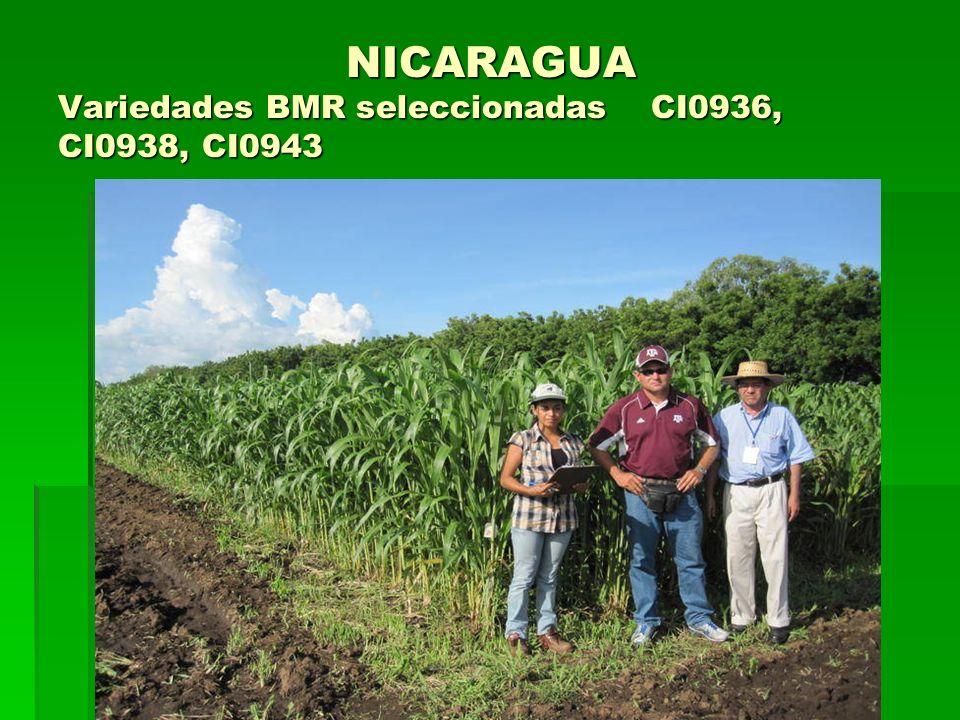 NICARAGUA Variedades BMR seleccionadas CI0936, CI0938, CI0943