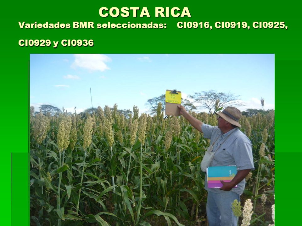 COSTA RICA Variedades BMR seleccionadas: CI0916, CI0919, CI0925, CI0929 y CI0936