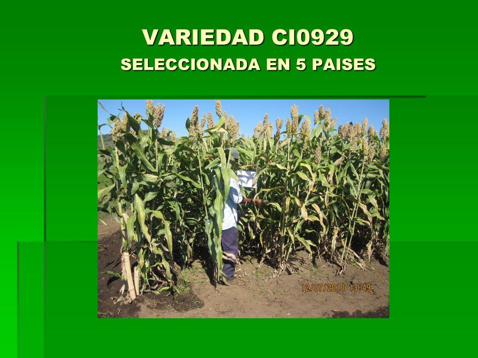 VARIEDAD CI0929 SELECCIONADA EN 5 PAISES