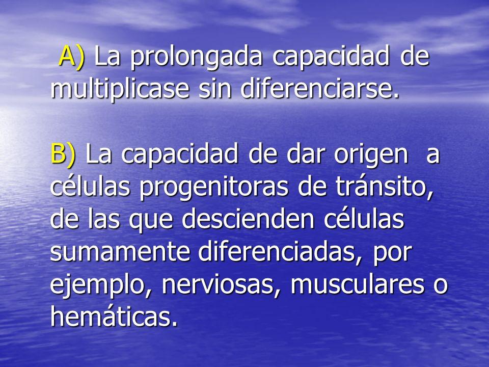 A) La prolongada capacidad de multiplicase sin diferenciarse
