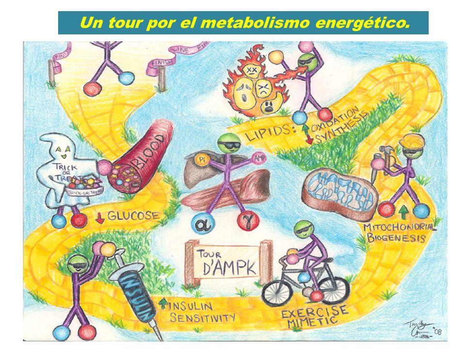 Un tour por el metabolismo energético.