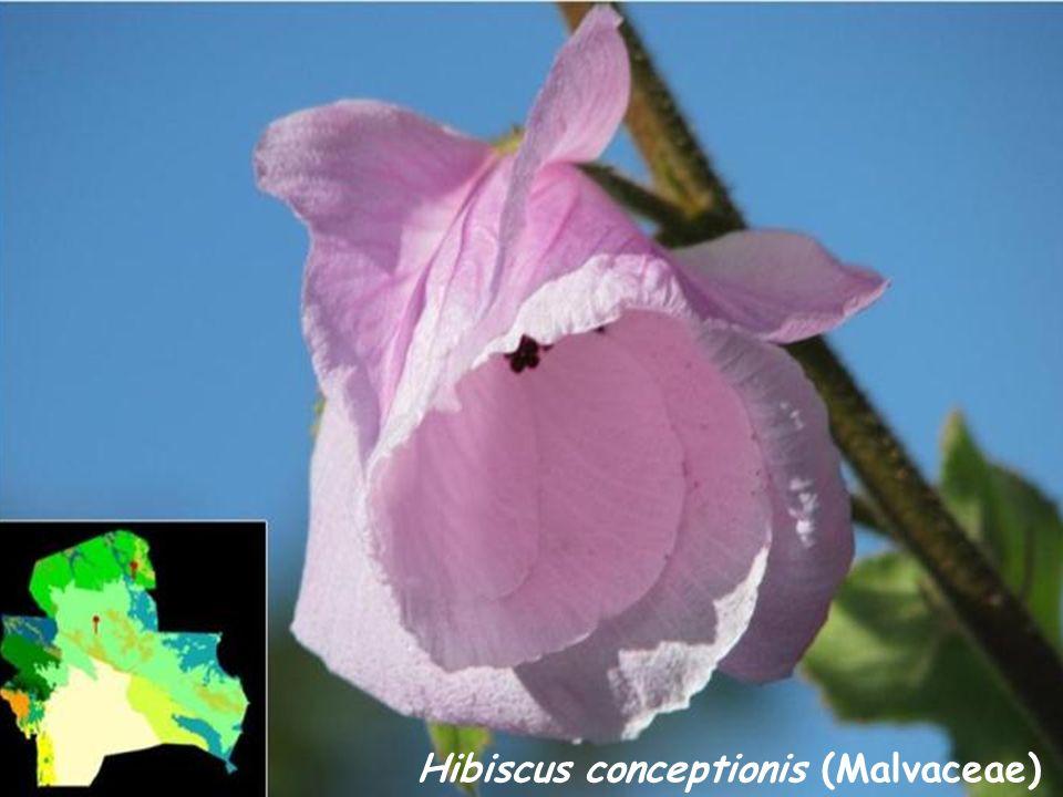 Hibiscus conceptionis (Malvaceae)