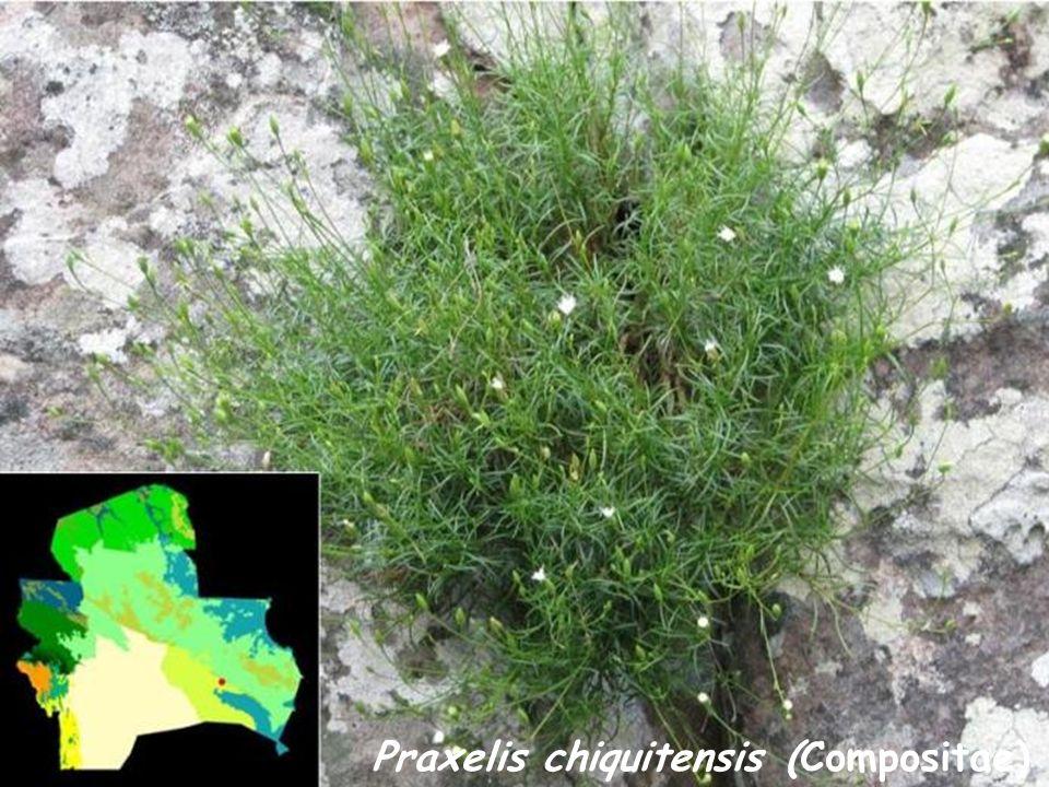 Praxelis chiquitensis (Compositae)