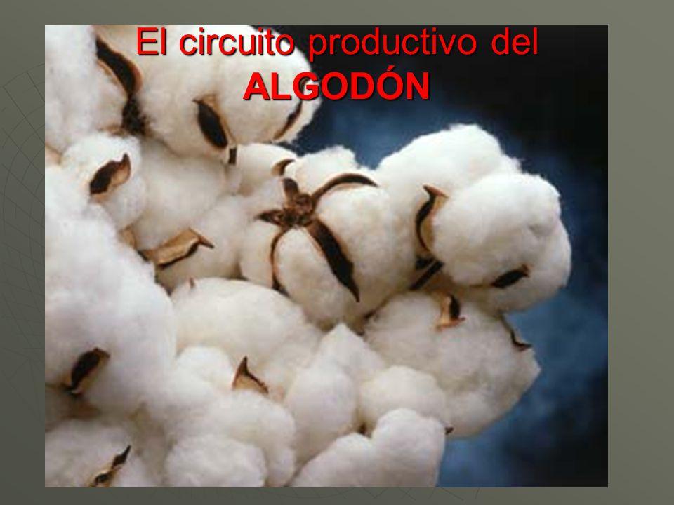 Circuito Productivo Del Algodon : Circuito productivo del tabaco ppt video online descargar