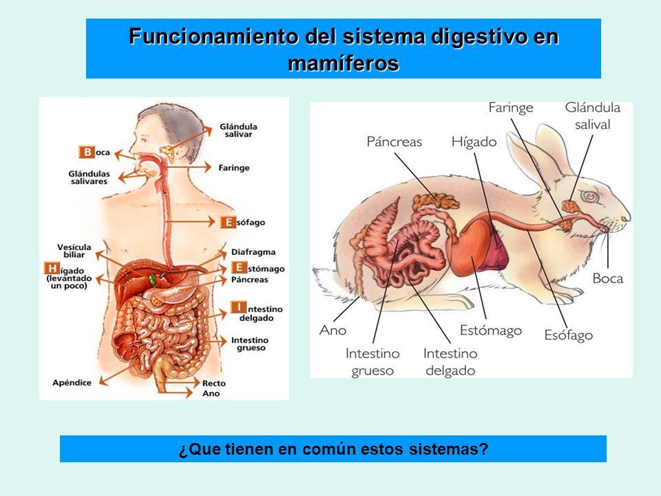 Lujoso La Anatomía De La Hoja De Respuestas Del Sistema Digestivo ...