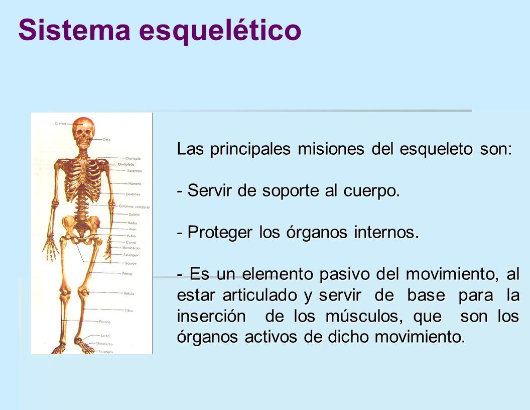 Sistema esquelético Las principales misiones del esqueleto son:
