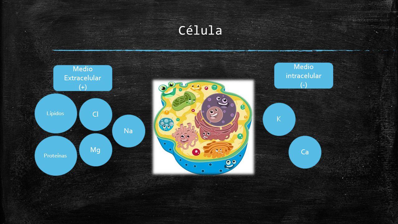 Célula Medio intracelular Medio Extracelular (-) (+) Cl K Na Mg Ca