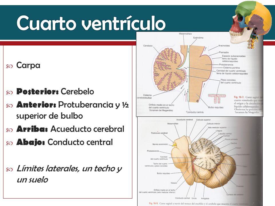 Fantástico Anatomía Del Tercer Ventrículo Colección - Anatomía de ...