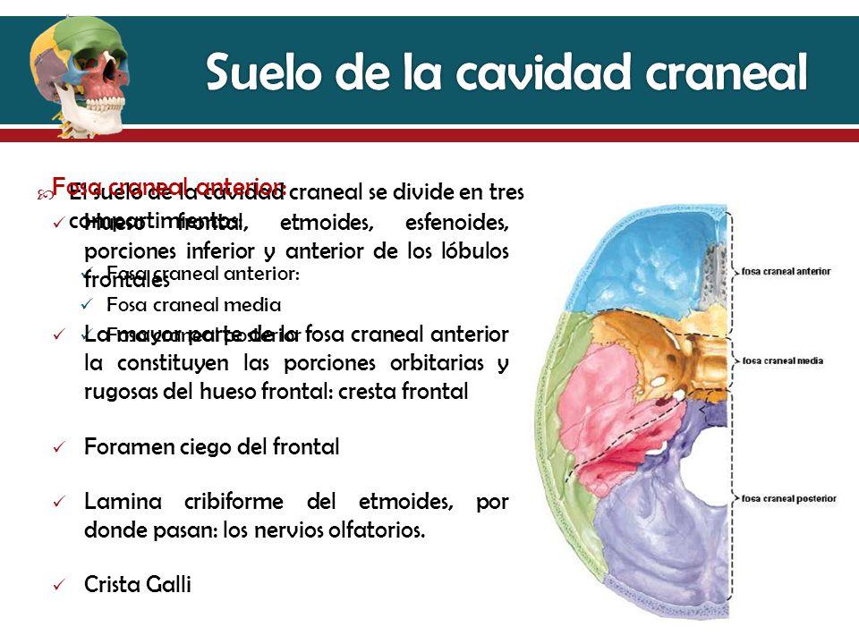 Contemporáneo Medio Anatomía Fosa Craneal Galería - Anatomía de Las ...